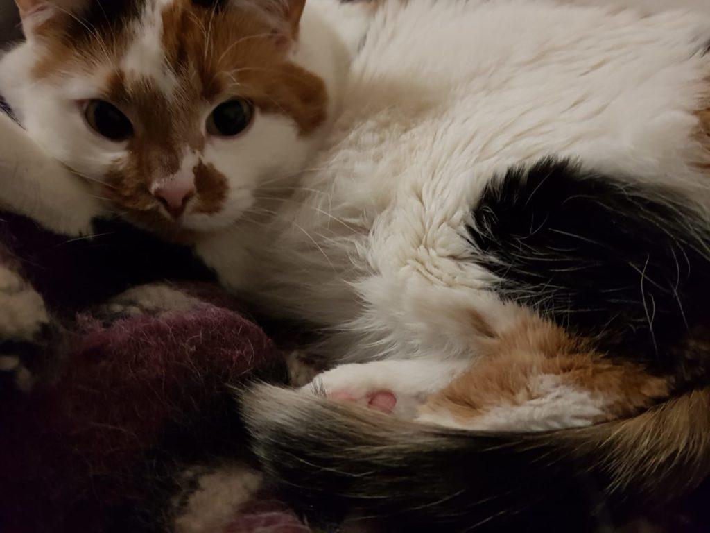Valko-ruskea-musta kissa makoilee villaviltin päällä ja katsoo hieman ohi kamerasta.